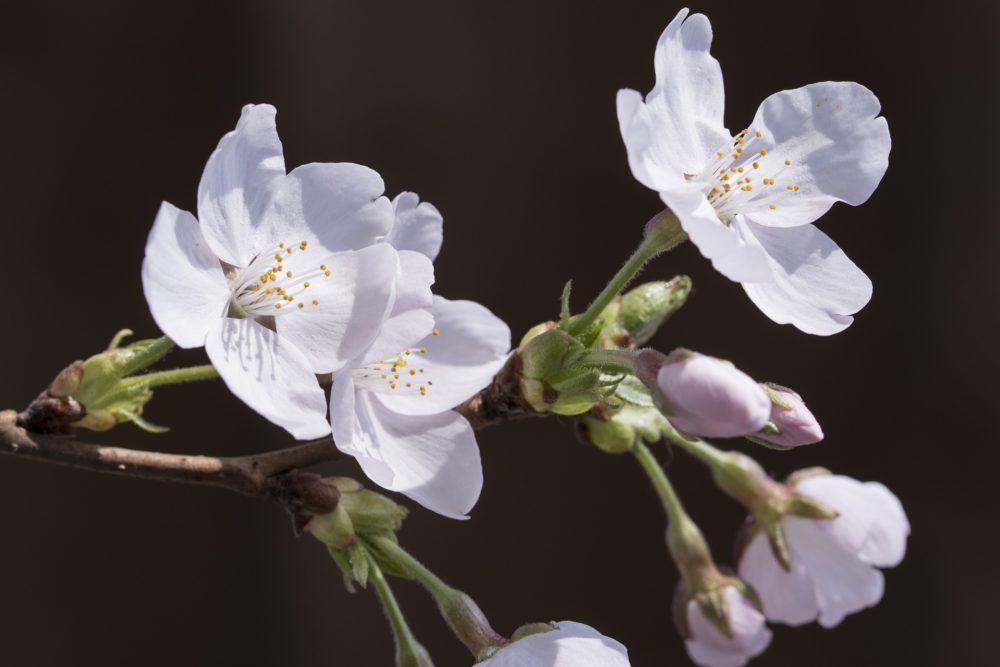 本田望結が夜桜に「素敵でした…」中学2年生最後の夜を過ごす 画像